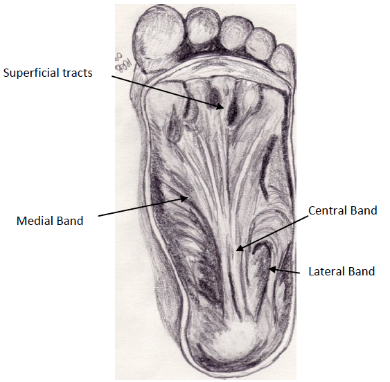 Figure 1 - Anatomy of the Plantar Fascia, indicating the structure and position of the three bands.